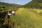 机收水稻 - 农业机械化信息